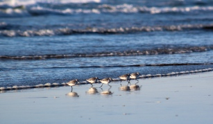 Better With Friends, Sanderlings on the Oregon coast.